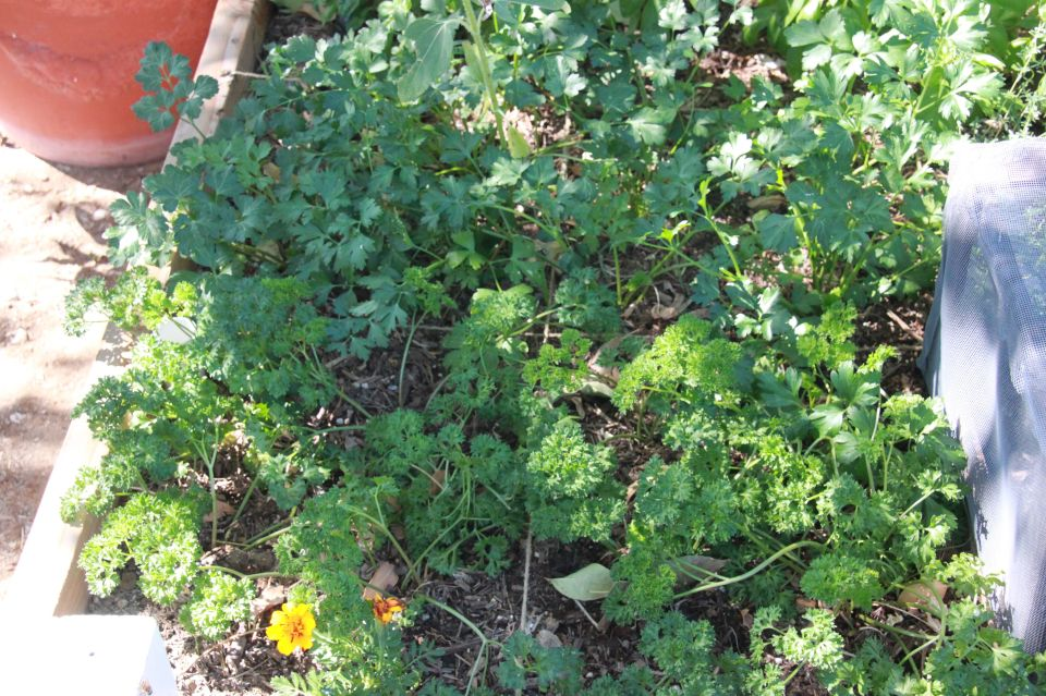 parsley a month later