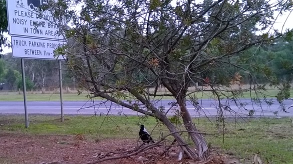 magpie keeping the shrub between us
