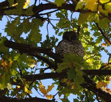 powerful owl in oak tree