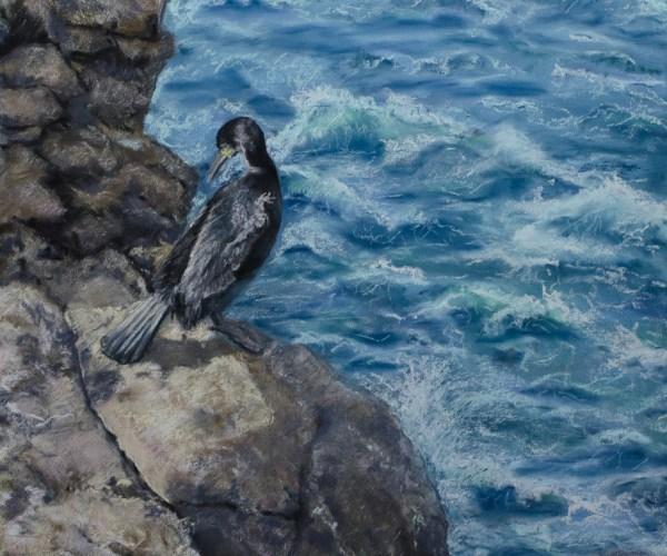 Cormoran – Les Sept îles