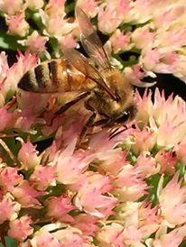 Honeybee crisis