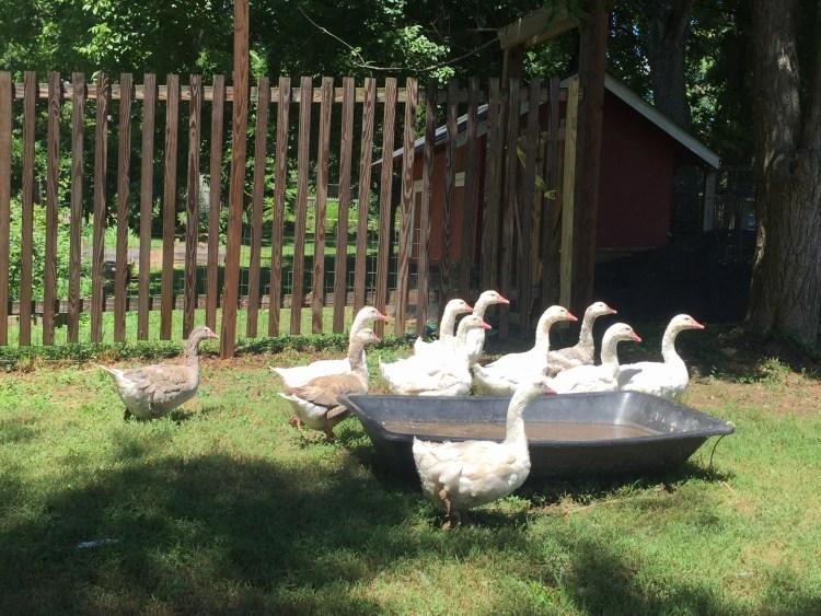 Button Farm Cotton Patch geese