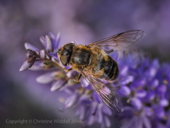 """""""Female Hoverfly on Hebe"""""""