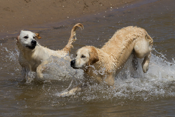 golden retrievers in sea