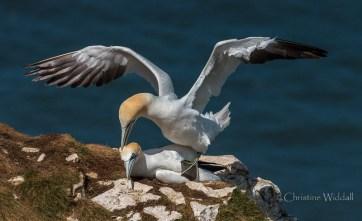 Gannets mating_5843