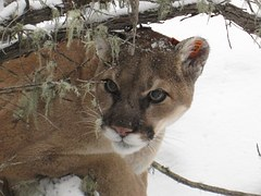 mountain-lion-938474__180-pixabay-cougar