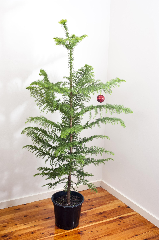 Photo of Natural Norfolk pine Christmas tree  Free
