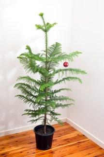 Natural Norfolk Pine Christmas Tree Free