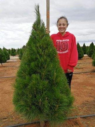 5 foot Christmas tree grade b