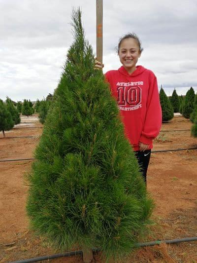 5 foot Christmas tree grade b