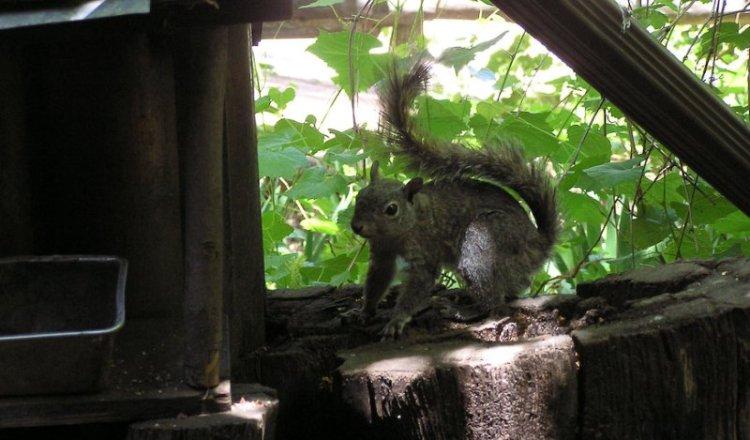 Squirrel in Christopher Creek