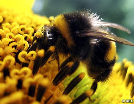 bumblebeerex_468x362.jpg