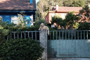 dog on fence camino de santiago