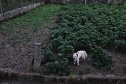 aggressive white dog on camino de santiago