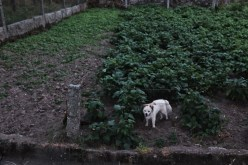 aggressive white dog on camino de santiago