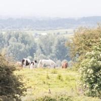Horses near Carrigogunnell Castle Ruins
