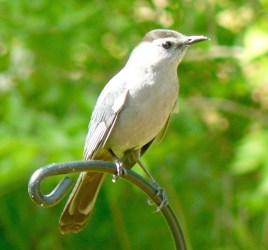 11. Gray catbird – Version 2