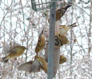 4H. Goldfinch