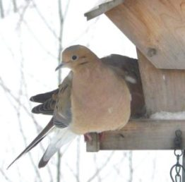 3B. Mourning Doves – Version 2