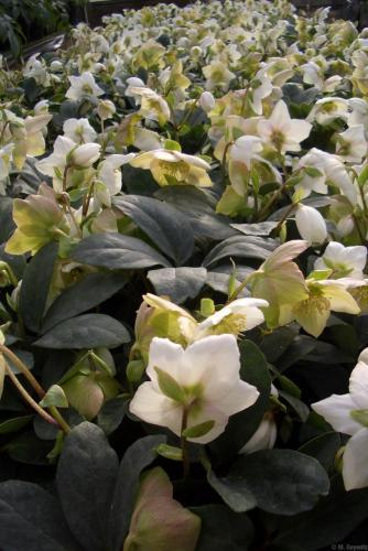 Massenblüte Amika H14 -11-07 (2)