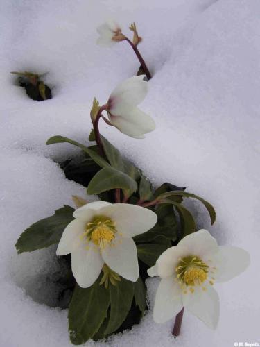 offeneBlüte-niger-im-Schnee
