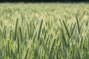 Wheat field Photo credit: followtheseinstructions via Flickr.