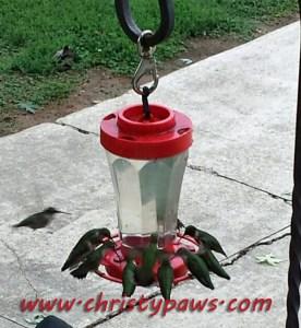 hummingbirds in Missouri