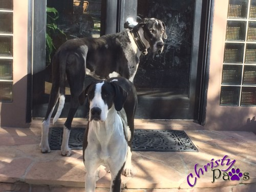 Woofies I Never Want to Meet - Great Danes