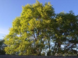 Tree 3-26-15 064