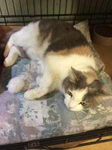 Phoebe - 6 yr old dilute calico