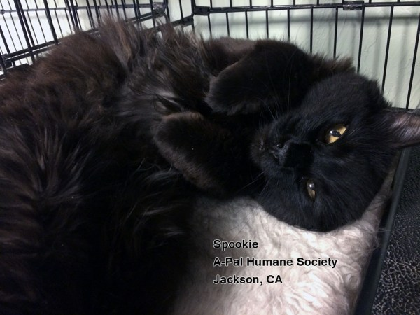 Friday's Featured Feline: Adopt Spookie