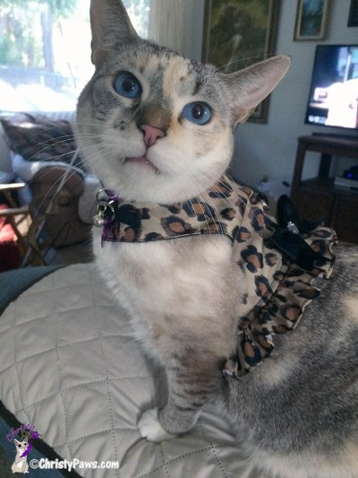 Christy posing in harness - The Birth of an Adventure Cat