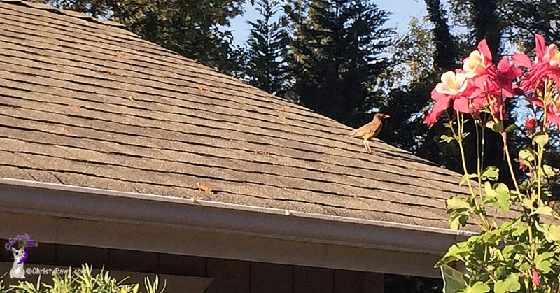 Bird on garage roof gathering seeds in spring