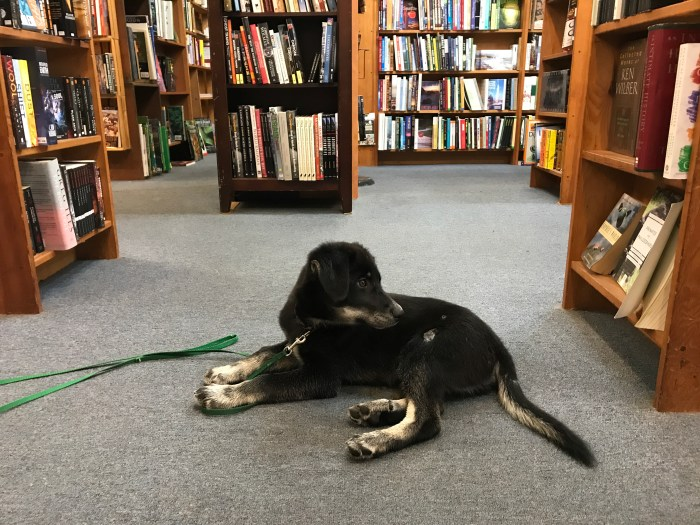 Puppy visiting Godfather's Books in Astoria, OR (WildmooBooks.com)