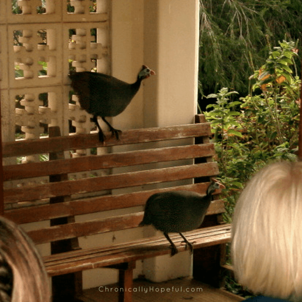 Guinea Fowl Visiting