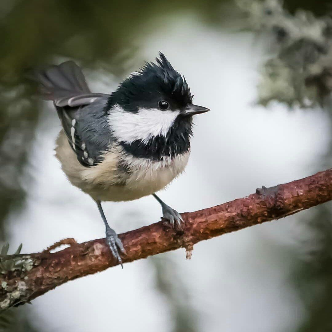 Coal Tit by Eco1234567890