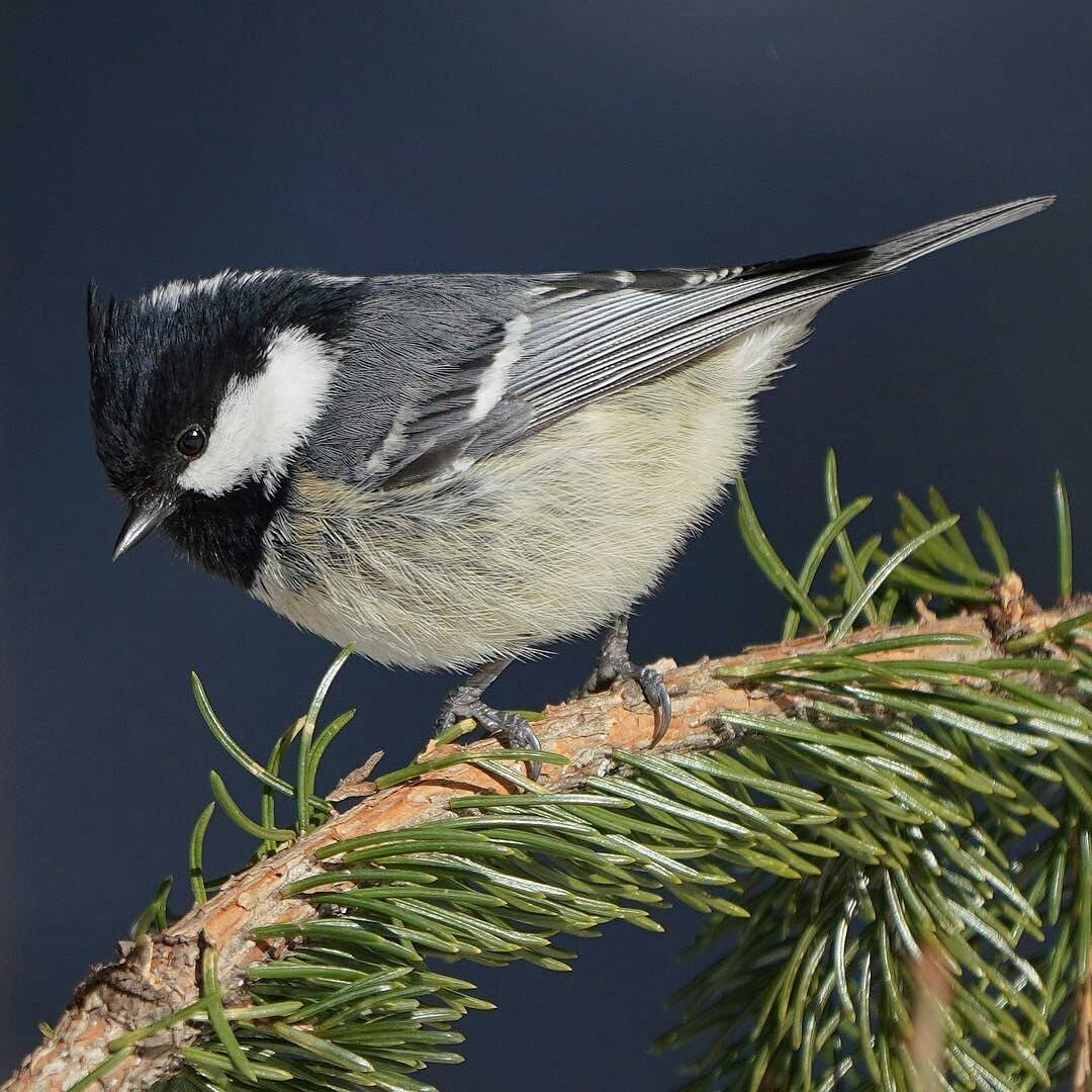 Adult Coal Tit by sat.simizu