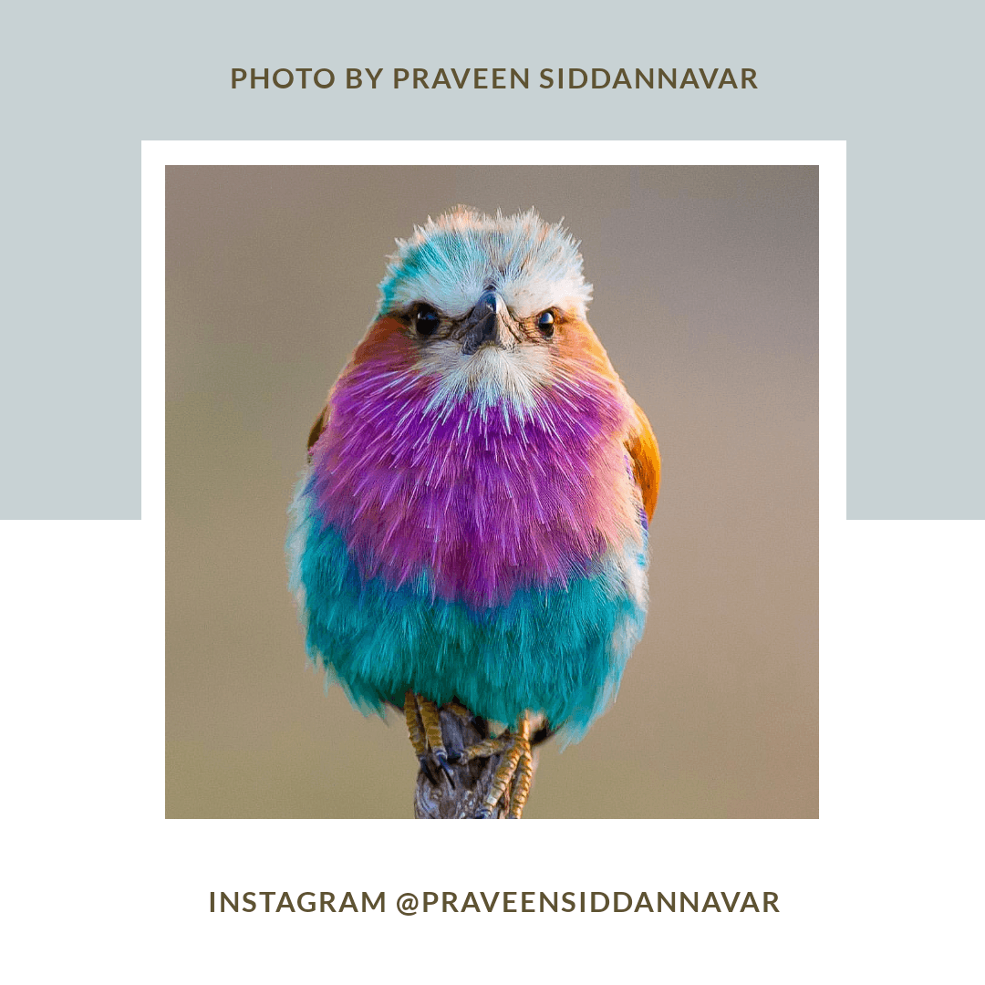 A colourful little bird sitting on a twig. Lilac-breasted Roller, Photo by Praveen Siddannavar