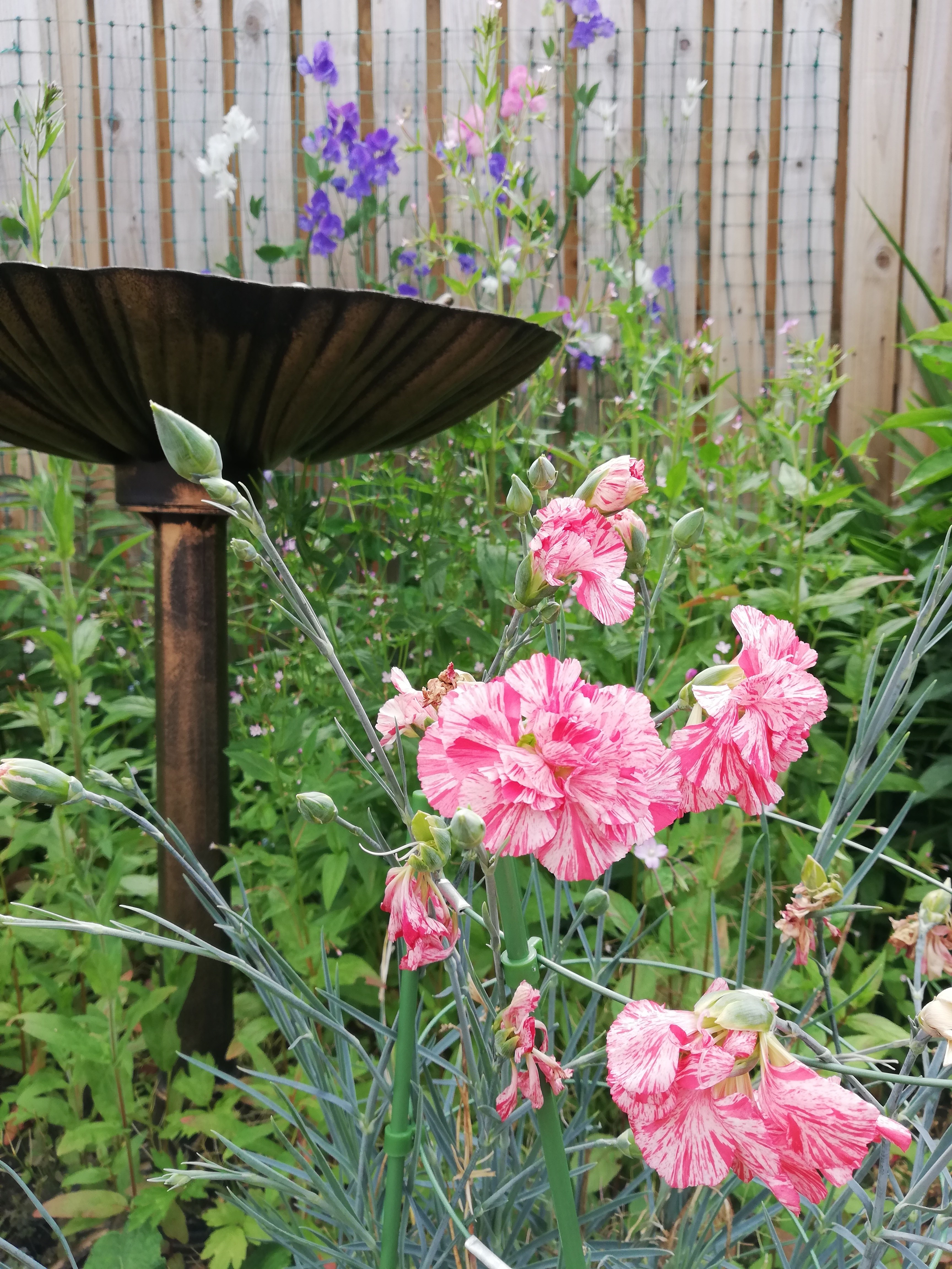 A pink stripy carnation in front of a copper bird bath, a wooden fence behind.