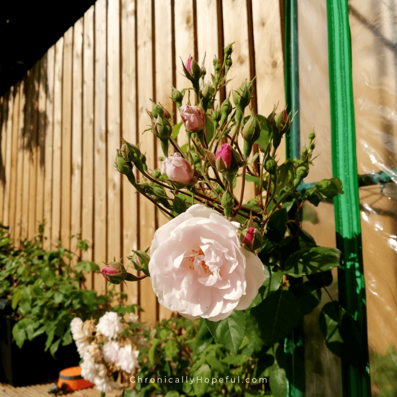 Pale pink rose climbing up the wooden fence