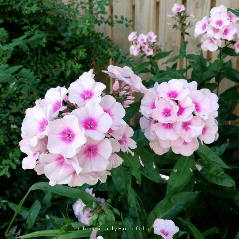 Pale pink flowers in the garden