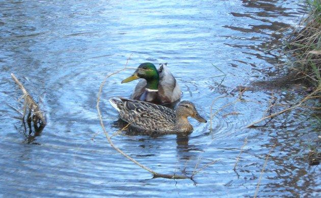 mallard pair on stream