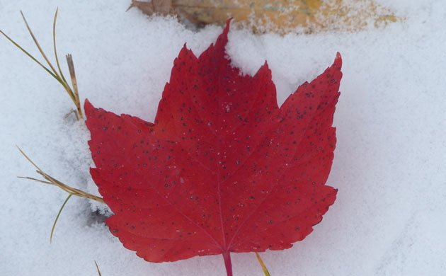 maple-leaf-in-snow