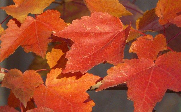 maple-leaves-