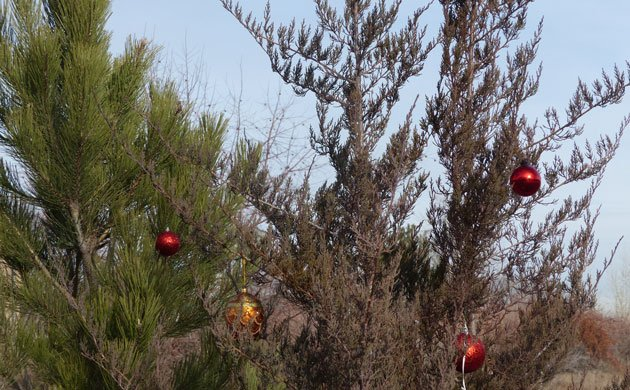 Elves' trees in the field on my daily walk adorned with ornaments