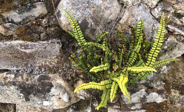 Fern growing in a stone fence just as we can grow and learn and heal from chronic illness despite harsh or difficult experiences- Veronique Mead, Chronic Illness Trauma Studies blog