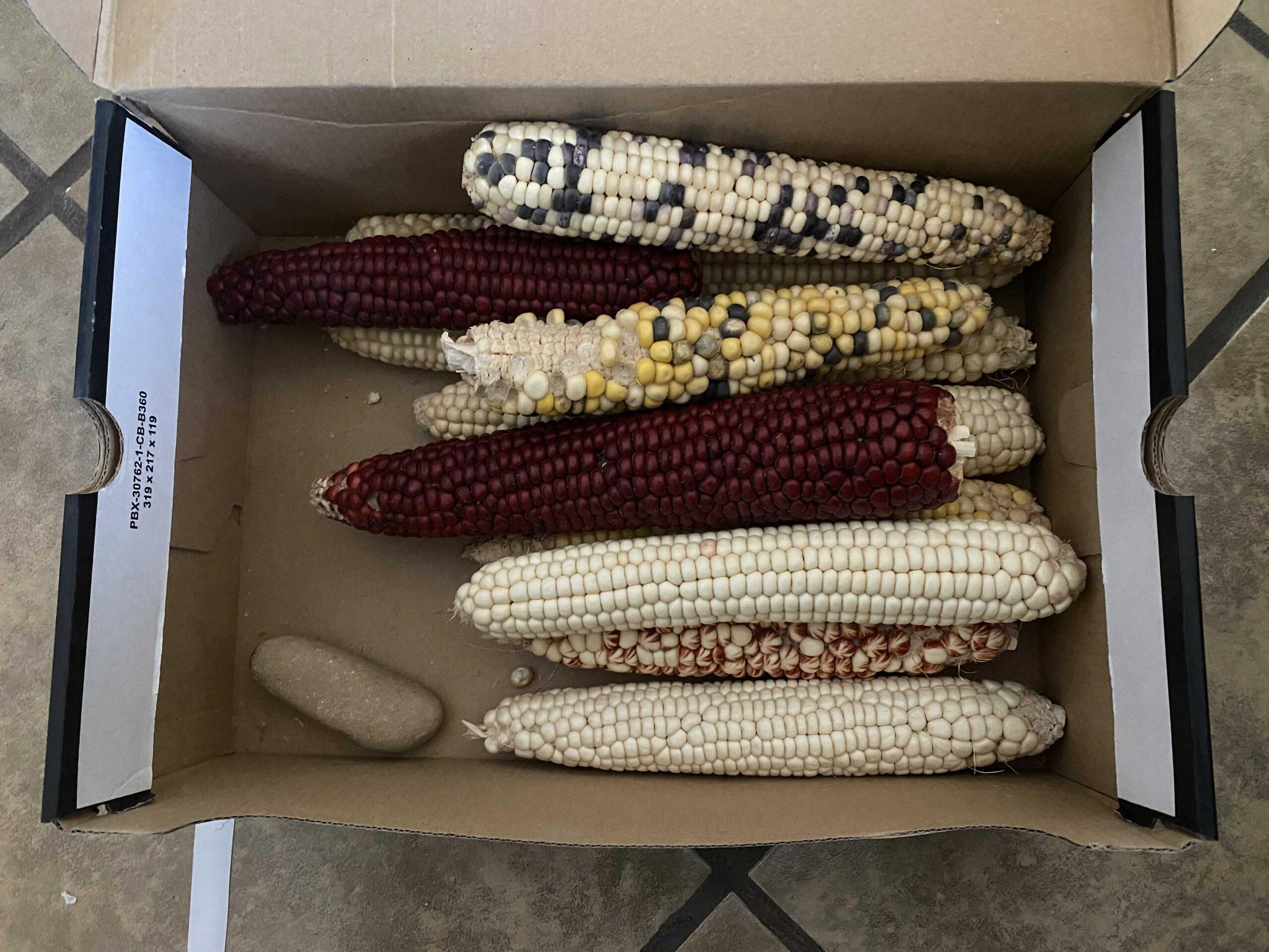 Multicolored ears of corn in a shoe box.