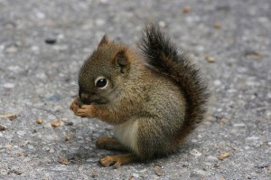 The Hyper Squirrel is a futuristic endangered species engineered by Dr. Angstrom H. Troubador.
