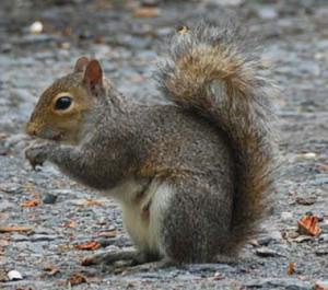 The NSA is using 'cyborg' Squirrels to eavesdrop on the Iranian nuclear weapons program.