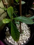 AYAHUSCA PLANT